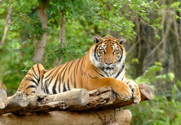 Wildlife-Sanctuaries-in-Sri-Lanka-Tiger