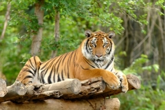 Wildlife-Sanctuaries-in-Sri-Lanka-Tiger
